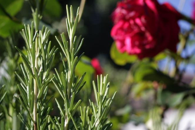 Rosmarin und Rose